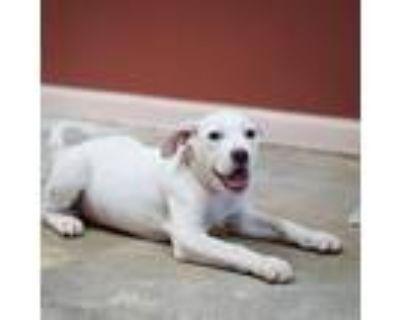 Adopt Casper a Pit Bull Terrier, Labrador Retriever