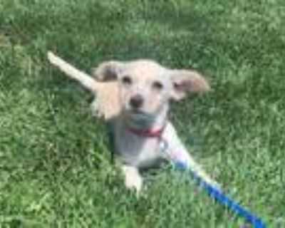 Adopt Bean a Tan/Yellow/Fawn Jack Russell Terrier / Poodle (Miniature) / Mixed