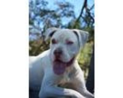 Adopt Han a American Staffordshire Terrier, Pointer