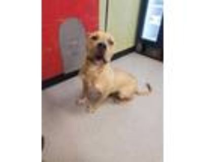 Adopt CORNDOG a Tan/Yellow/Fawn - with Black American Pit Bull Terrier / Mixed