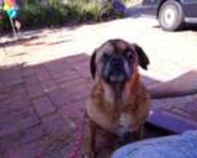 Adopt Dudley Do Right a Pug / Beagle / Mixed dog in Gardena, CA (31522366)