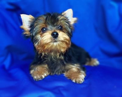 Adorable Male Yorkie Puppies - reputable show breeder