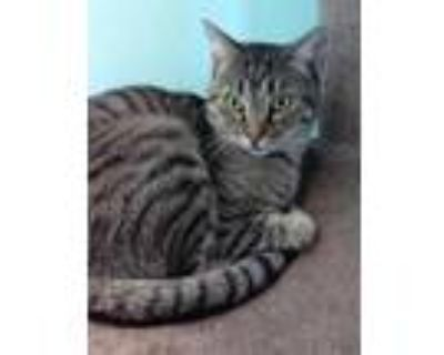 Adopt Ace a Gray or Blue Domestic Shorthair / Domestic Shorthair / Mixed cat in