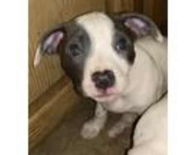 Adopt RIVER a White - with Gray or Silver Shar Pei / Jack Russell Terrier /