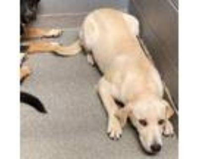 Adopt Aspen a Labrador Retriever, Mixed Breed