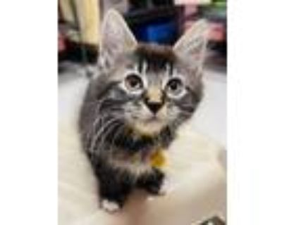 Adopt Gamora a Domestic Short Hair