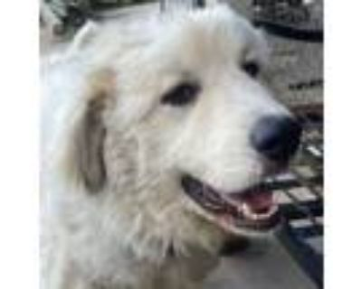 Adopt Avalanche - Needs Foster a Great Pyrenees