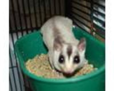 Adopt BARTOK a White Sugar Glider / Sugar Glider / Mixed small animal in