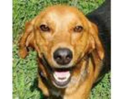 Adopt CEDRIC a Hound, Labrador Retriever