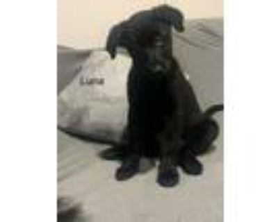 Adopt Luna a Labrador Retriever, German Shepherd Dog