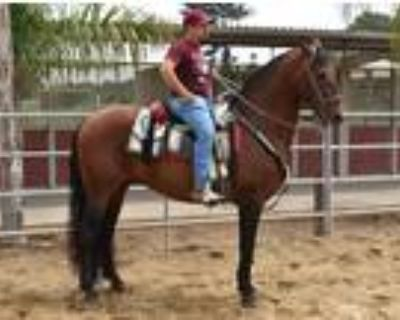 El Cirineo Andalusian Finished Stallion ANCCE Papers