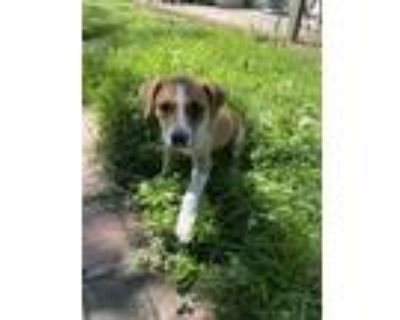 Adopt Amber Brkich a Tan/Yellow/Fawn - with White Labrador Retriever dog in
