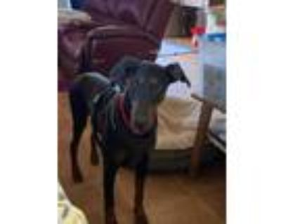 Adopt Toby a Black - with Tan, Yellow or Fawn Doberman Pinscher / Mixed dog in