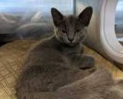 Adopt DAISY a Gray or Blue Domestic Shorthair / Mixed (short coat) cat in