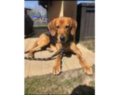 Adopt Snoop a Black - with Tan, Yellow or Fawn Hound (Unknown Type) dog in