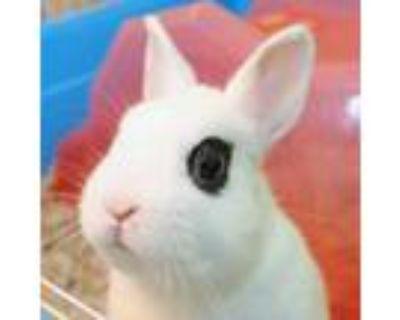 Adopt Bubbles a White Netherland Dwarf / Mixed rabbit in Lansing, MI (31511391)