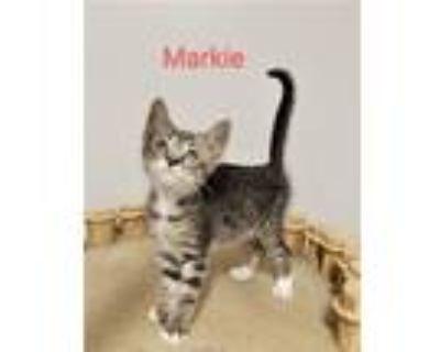 Adopt Markie a Domestic Short Hair