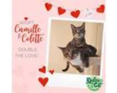 Adopt Colette & Camille a Domestic Short Hair