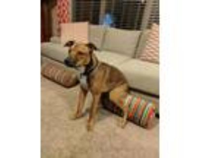 Adopt BANDIT 4 a Brown/Chocolate - with White American Pit Bull Terrier / German