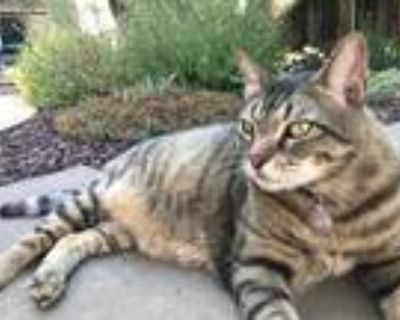 Adopt Domino a Brown Tabby Domestic Shorthair / Mixed (short coat) cat in
