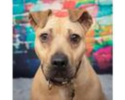 Ashley, Pit Bull Terrier For Adoption In Mission, Kansas