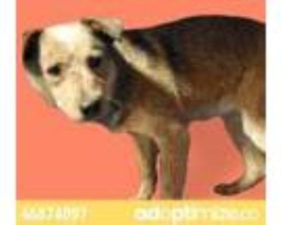 Adopt 46874097 a Red/Golden/Orange/Chestnut Australian Cattle Dog / Mixed dog in