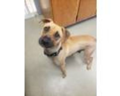 Adopt Maria a Boxer / Mixed dog in Birdsboro, PA (31207823)