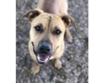 Adopt CHEETO a Pit Bull Terrier, Mixed Breed