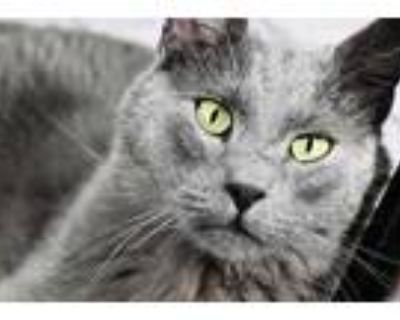 Adopt Iles a Gray or Blue Domestic Shorthair / Domestic Shorthair / Mixed cat in