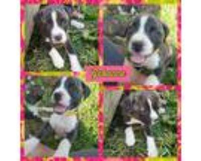 Adopt Gabanna a Brindle - with White Boxer / Labrador Retriever / Mixed dog in