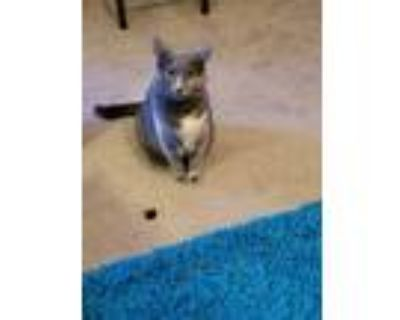 """Adopt ?Barncat """"Punkin"""" a Gray or Blue (Mostly) Domestic Shorthair / Mixed"""