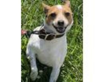 Adopt Peanut a White - with Brown or Chocolate Jack Russell Terrier / Mixed dog