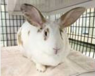 Adopt PEACHES a White Other/Unknown / Mixed rabbit in Albuquerque, NM (31179187)
