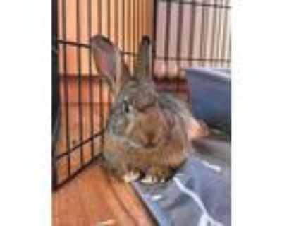 Adopt Tilda a Agouti Other/Unknown / Mixed (short coat) rabbit in Woburn
