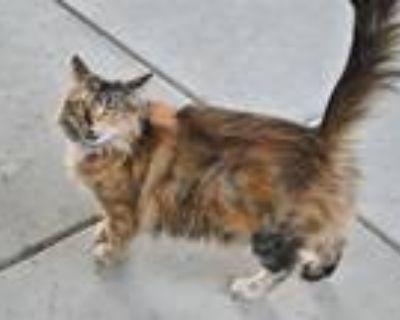 Adopt A591353 a Tortoiseshell Domestic Mediumhair / Mixed (medium coat) cat in