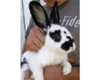Adopt Bun Affleck a White Other/Unknown / Mixed (short coat) rabbit in