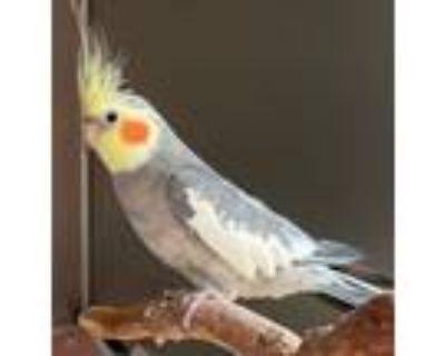 Adopt Cockatiel a Cockatiel