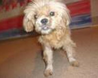 Adopt Gale-Rescue Only a Brown/Chocolate Shih Tzu / Mixed dog in Arlington