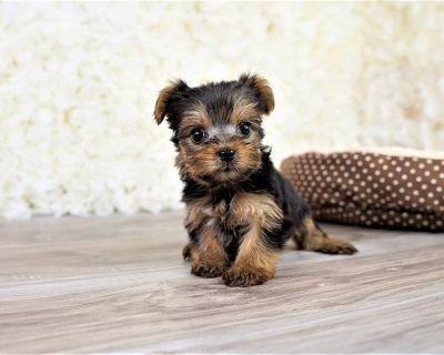 Teacup Yorkie Yorkshire Terrier puppy
