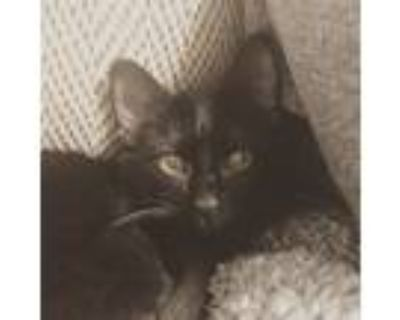 Adopt Gomez a All Black Domestic Shorthair / Mixed (short coat) cat in Anderson