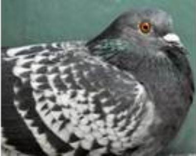 Adopt VALENTINE a Pigeon