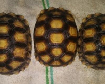 African Sulcata   Tortises