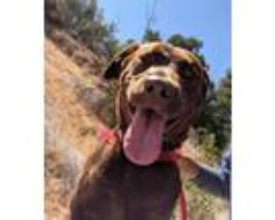 Adopt I1353056 a Brown/Chocolate Labrador Retriever / Mixed dog in Pomona