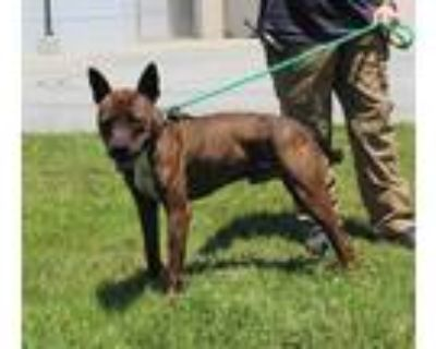 Adopt DEMO a Brindle American Pit Bull Terrier / Mixed dog in Louisville