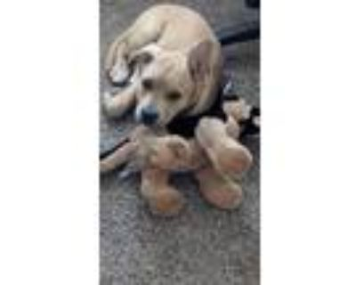 Adopt Chopper a Tan/Yellow/Fawn - with White American Pit Bull Terrier / German