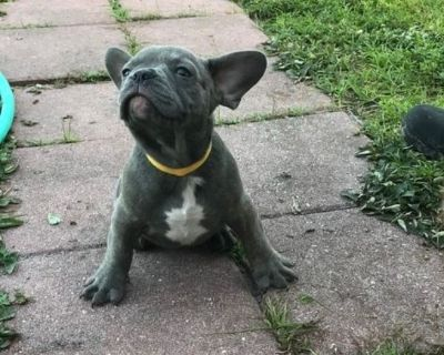 French Bulldogs Puppies Available