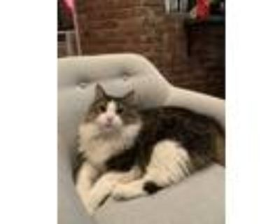 Adopt Oscar a Brown or Chocolate (Mostly) Maine Coon / Mixed (long coat) cat in