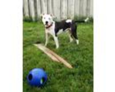 Adopt Oden a White - with Black American Staffordshire Terrier / Mixed dog in