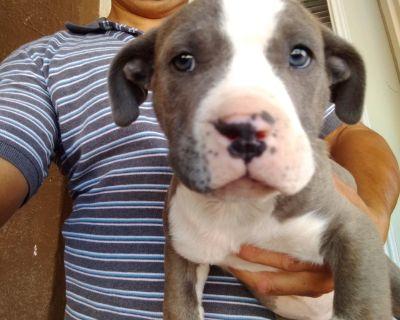 pitbull blue puppies