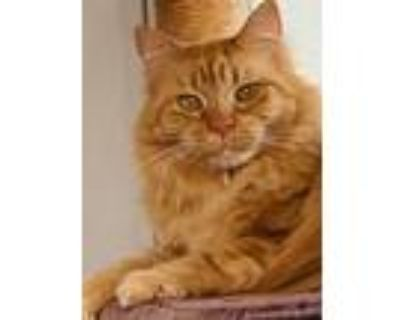 Adopt Andrea a Maine Coon, Tabby